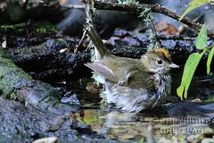 Ovenbird (gregpage1465) Tags: galveston bird nature photography photo texas greg cove wildlife picture page warbler lafittes ovenbird gregpage seiurusaurocapilla