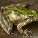 Acris crepitans: Northern Cricket Frog