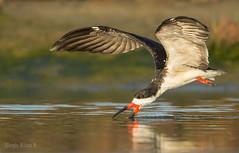 RAYADOR (Rynchops niger) Black Skimmer. (Sergio Bitran M) Tags: chile bird southamerica ave sudamerica 2014 charadriiformes