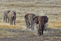 SALT LICK LODGE (mark_rutley) Tags: africa animals wildlife ivory bull safari elephants dust saltlick