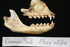 Common Seal Skeleton (JRochester) Tags: skeleton teeth upper seal bone lower common juvenile phoca vitulina osteology