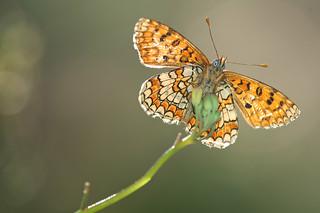 Melitaea deione (Provençal Fritillary, Spaanse parelmoervlinder)