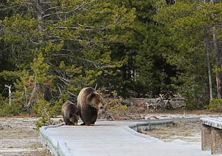 Grizzly Sow and Yearling on Boardwalk at Daisy Geyser