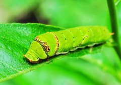 Papilio polytes caterpillar (Joydeep.) Tags: plants india macro green nature face closeup butterfly 50mm colours wildlife insects photograph digitalphotos westbengal flyinginsects nikonlens primelens afnikkor50mmf18d 50mmnikkorlens burdwan nikond90