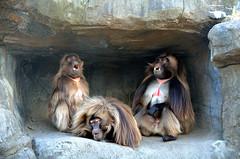 Baboon Political Debate (Eddie C3) Tags: newyorkcity bronx bronxzoo animalplanet primates geladas baboonreserve