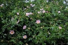Hundsrosen (Rosa canina); Bergenhusen, Stapelholm (16) (Chironius) Tags: stapelholm bergenhusen schleswigholstein deutschland germany allemagne alemania germania германия niemcy blüte blossom flower fleur flor fiore blüten цветок цветение rose rosa roze gül роуз rosen roses rosids fabids rosales rosenartige rosaceae rosengewächse rosoideae