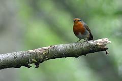 Robin - Erithacus rubecula (Hatto26) Tags: nature robin erithacus wildlife norfolk reserve norwich fen broads rspb strumpshaw rubecula broadland