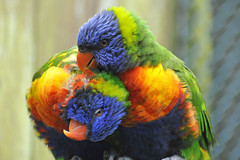 Rainbow Lory (RdigerF) Tags: rainbowlory gebirgslori vogelparkmarlow photographyforrecreation rememberthatmomentlevel4 rememberthatmomentlevel1 rememberthatmomentlevel2 rememberthatmomentlevel3 rememberthatmomentlevel7 rememberthatmomentlevel9 rememberthatmomentlevel5 rememberthatmomentlevel6 rememberthatmomentlevel8 rememberthatmomentlevel10