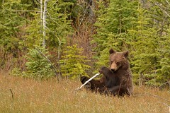 The World Is Your Playground (Hello, It's Me (off few days)) Tags: bear canada danger britishcolumbia wildlife canadian grizzly predator omnivore