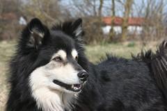 Finnish Lapphund (Samurai-Akita) Tags: dog dogs beauty fave hund finnish finnischer suomenlapinkoira lapphund lapinkoira