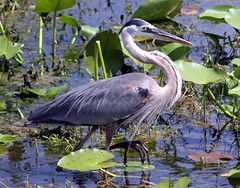 Walk on the Wild Side (PelicanPete) Tags: wild nature beauty walking foot interesting fishing toes natural florida profile hunting explore nails marsh bigfoot greatblueheron duckweed darter southflorida sawgrass 463 ardeaherodias wadingbird walkonthewildside inthewild boyntonbeachflorida adultmale supersho