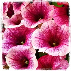 pink (AMínguezm) Tags: world flowers light españa color texture nature colors square spring spain europa europe picture photograph squareformat kelvin es petunia lovely nationalgeographic nwn perfectlight supershot passionphotography fantasticflower anawesomeshot iphoneography instagramapp uploaded:by=instagram
