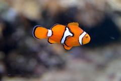 A Common Clownfish (pringle-guy) Tags: fish london animals nikon sealife londonaquarium חיות דג אקווריום לונדון דגים בעליחיים