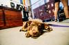 2128 Maisie II (JoelZimmer) Tags: dog newyork brooklyn unitedstates parkslope maisie 1116mmf28 crossfitsouthbrooklyn nikond7000