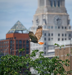 Christo (Goggla) Tags: new york nyc red urban male bird square village adult hawk tail east mature raptor tompkins christo