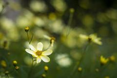 One in the hundreds.. (M$ingh.) Tags: summer plants blur flower macro green nature 50mm spring flora nikon seasons bokeh flowerbud d7100 beyondbokeh