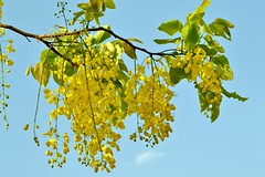 The Golden Shower (Cassia Fistula) (Veena-Nair) Tags: india yellowflowers cassiafistula travelshot kanikonna thegoldenshower