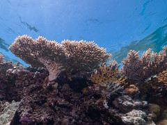 Shallow coral formations (altsaint) Tags: underwater redsea egypt panasonic gf1 blueseas