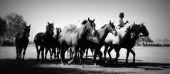 Son pelos firmes, los trece! (Eduardo Amorim) Tags: horses horse southamerica argentina criollo caballo cheval caballos cavalos pferde herd cavalli cavallo cavalo gauchos pferd pampa hest hevonen chevaux gaucho  amricadosul hst gacho  campero amriquedusud provinciadebuenosaires  gachos  sudamrica sanantoniodeareco suramrica areco sdamerika gregge crioulo troupeau caballoscriollos herde criollos  tropillas  pampaargentina camperos americadelsud tropilhas tropilla  crioulos cavalocrioulo americameridionale tropilha caballocriollo campeiros campeiro eduardoamorim cavaloscrioulos pampaargentino