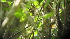 Endemic Antioquia Wren - Thryophilus sernai - Bolombolo, Cauca Valley (COLOMBIA Birding (Diego Calderon)) Tags: bird birds colombia birding aves pajaros trips tours endemic turismo birdwatching diegocalderon endemico neotropics spnov endemics observaciondeaves colombiabirding birdwatchingtours wwwcolombiabirdingcom birdingtours endemicos sunrisebirding
