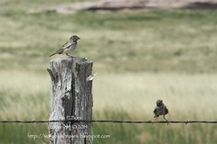 2014.07.27Sparrows (ivoryblushroses) Tags: birds birding national prairie sparrows grassland pawnee