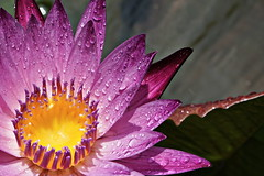 The sun is back (N808PV) Tags: sun color water yellow shine lily sony violet droplet alpha 50 6000 ilce sel50