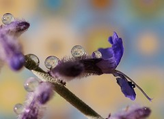 Very little is needed to make a happy life; it is all within yourself, in your way of thinking.  Marcus Aurelius (water.drop .....( on & off )) Tags: macro water sony drop refraction verylittleisneededtomakeahappylifeitisallwithinyourself ilca77m2 inyourwayofthinkingmarcusaurelius