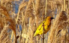 Cape Weaver (WelshPixie) Tags: bird southafrica wetlands weaver ornithology westerncape capeweaver paardevlei