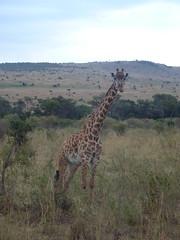 Honeymoon Trip - Masai Mara  (August 2013) (irlLordy) Tags: trip holiday honeymoon kenya august safari giraffe masaimara 2013