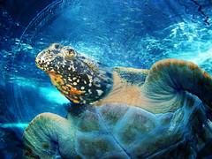 Toadtle (ihave3kids) Tags: animal turtle digitalart toad chimera photoshopmanipulation photoshopcompetition wikipediacommons
