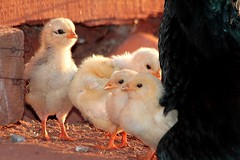 IMG_S1583 (Max Hendel) Tags: chickens poultry chicks frangos pintinhos pintos avesdomsticas bymaxhendel maxhendelphotography