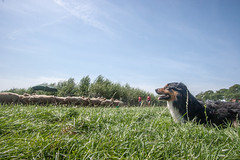 20140719-IMG_2726 [explored (date?)] (Bas Bloemsaat) Tags: dog dogs sheep shepherd sheepdog trial herding