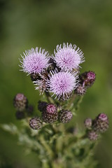 Creeping Thistle (Cirsium arvense), by Peter Alfrey
