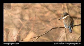 Sacred Kingfisher 06