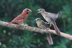 I...I...I...I...I'm Not Your Stepping Stone (Paul Hueber) Tags: bird nature animal feeding florida wildlife aves