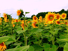 ~~ Sunflowers Sea ~~