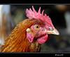 la gallina (sirVictor59) Tags: detail nikon italia io lazio gallina sirvictor59