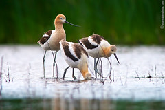 Advance Young Avocets (Osprey-Ian) Tags: alberta americanavocet franklake