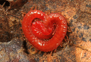 Red Soil Centipede, Meadowood Farm SRMA, Mason Neck, Virginia