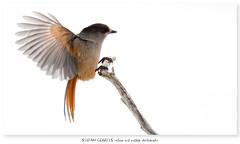A bit of preparation (Stefan Gerrits aka vanbikkel) Tags: finland kuusamo konttainen canon5dmarkiii canonef500mmf4liiusm nature wildlife vanbikkel bird birds lintu winter talvi jay siberianjay kuukkeli perisoreusinfaustus gaai taigagaai taiga