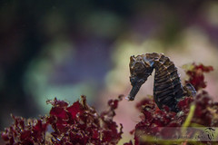 Cheval de mer (JadeNoire - Interlude Photo) Tags: bleu sea seaquarium poisson mer nikon d7100 hippocampe seahorse fish