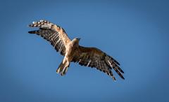 Little Eagle (Matt OZW) Tags: axecreek victoria junortoun okeeferailtrail hieraaetusmorphnoides australia birds littleeagle places boxironbark