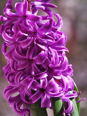 First Day of the Spring (R_Ivanova) Tags: flower flowers spring colors color garden plant pink purple sony macro nature hyacinth rivanova риванова природа пролет цветя зюмбюл