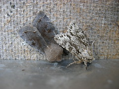 Clouded Drab & Early Grey Moth DSCN0131 (Coventry City Council) Tags: coombecountrypark coombeabbey coventry
