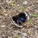 Dark Blue Pansy (Junonia o. oenone)