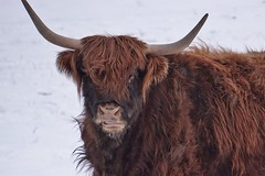 A distinctive member of a fold (beyondhue) Tags: highland cattle cow brown hair horn portrait farm ottawa kanata beyondhue snow winter animal shaggy eye