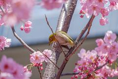 DSCF3603 (naofumitaguchi) Tags: fujifilm xm1 tokyo japan bird メジロ 富士フイルム naofumitaguchi sakura 日本 東京 桜 outdoor 河津桜 カワヅザクラ cherry blossom plant tree pastel mejiro japanese whiteeye flower macro