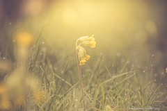 Cowslip-Primula veris (frattonparker) Tags: nikond810 tamron28300mm raw lightroom6 dof bokeh frattonparker btonner isleofwight plant yellow dew fog mist thebestyellow