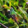 Rufous-tailed Hummingbird (Amazilia tzacatl) enjoying rain at Alambi Cloud Forest Reserve, Tandayapa Valley, north-western Ecuador.