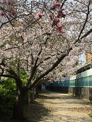 散歩道 Promenade (eyawlk60) Tags: spring cherryblossoms 春 桜 桜並木 花 モクレン 紫 ピンク 紫木蓮